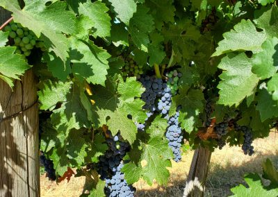 Sierra Vista Event Room - Grape Vines Full of Grapes