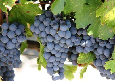 Sierra Vista Grape Variety - Cabernet Sauvignon Grapes