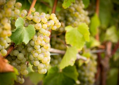 Sierra Vista Grape Variety - Chardonnay Grapes