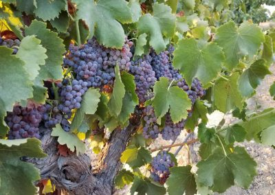 Sierra Vista Grape Variety - Grenache Grapes
