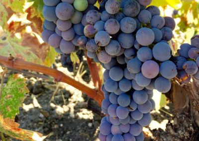 Sierra Vista Grape Variety - Mourvedre Grapes