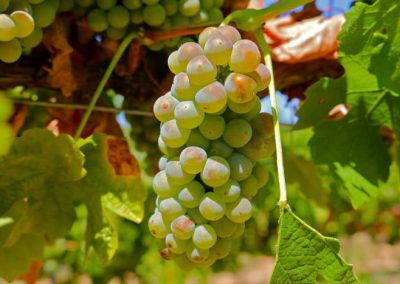 Sierra Vista Grape Variety - Roussanne Grapes