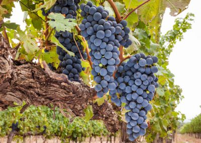 Sierra Vista Grape Variety - Syrah Grapes
