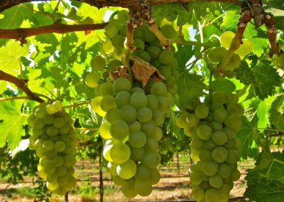 Sierra Vista Grape Variety - Viognier Grapes