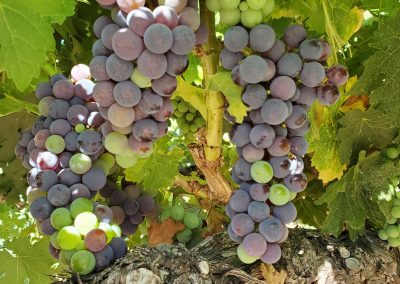 Sierra Vista Vineyards and Winery - Grapes on the Vine