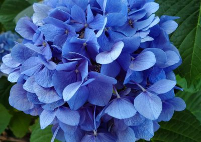 Sierra Vista Vineyards and Winery - Hydrangea